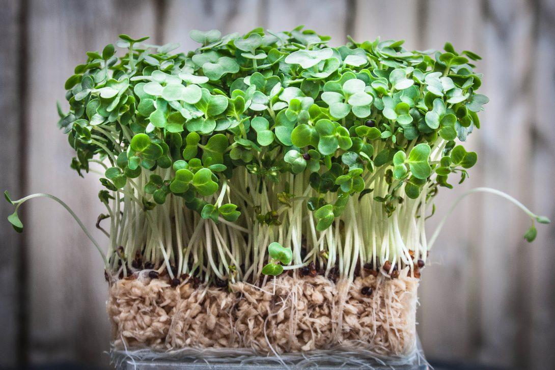 Как вырастить зелень: кресс-салат