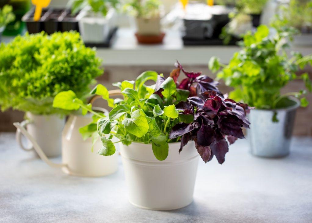 Как вырастить зелень на подоконнике: базилик