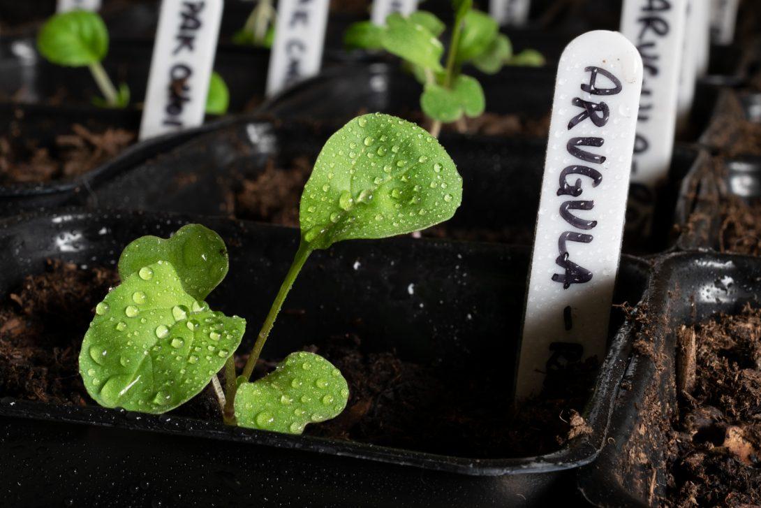 Как вырастить зелень на подоконнике: рукола