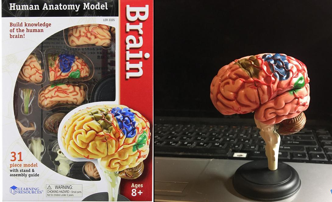 Конструктор «Мозг человека»